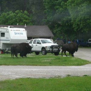 Our first buffalo encounter. Thank goodness we're not staying at that campground!